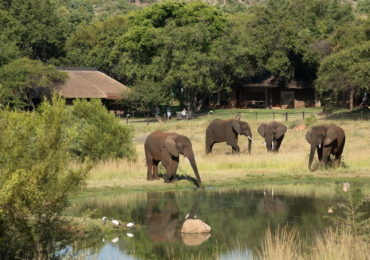 bakubung-bush-lodge-elephants-by-lodge-590x390