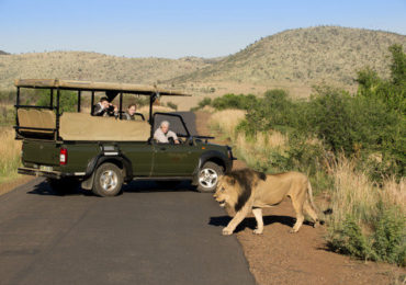 tshukudu-bush-lodge-game-drive-lion-590x390